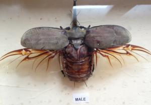 Elephant beetle RHES trip