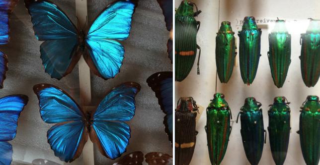 Morpho Butterflies and Jewel Beetles RHES - Reaseheath College