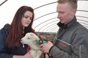 Callum Pitchford and Laura Bellis fit an EID tag to a lamb
