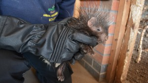 porcupette with keeper