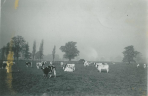 Reaseheath Ayshire Herd at pasture (1950)