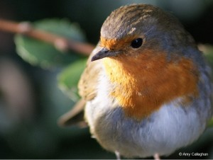 Amy Callaghan's winning Robin photography