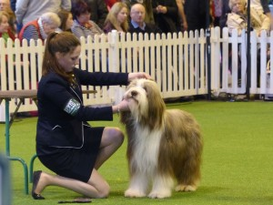bearded collie Puzzle and paige competing crop for web
